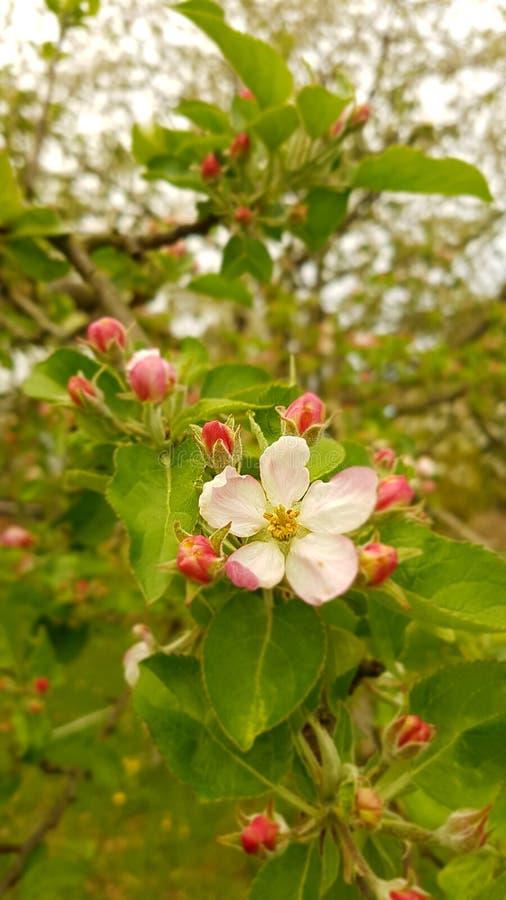 Δέντρο μηλιάς Awaking στοκ εικόνες