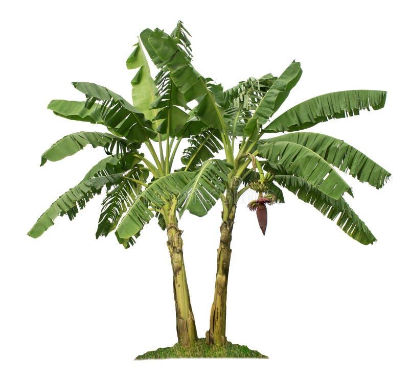 Δέντρο μπανανών που απομονώνεται στο άσπρο υπόβαθρο με το ψαλίδισμα των πορειών ελεύθερη απεικόνιση δικαιώματος
