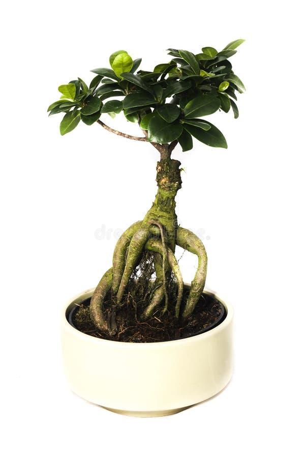 Δέντρο μπονσάι Ficus στοκ εικόνα με δικαίωμα ελεύθερης χρήσης