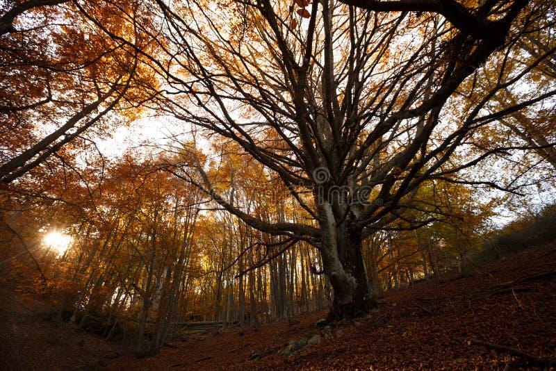 Δέντρο νεράιδων στο δάσος φθινοπώρου στο ηλιοβασίλεμα Παλαιό μαγικό δέντρο με τους μεγάλους κλάδους και τα πορτοκαλιά φύλλα στην  στοκ εικόνες