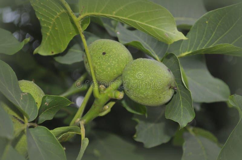 Δέντρο ξύλων καρυδιάς με τα πράσινα καρύδια στοκ φωτογραφία
