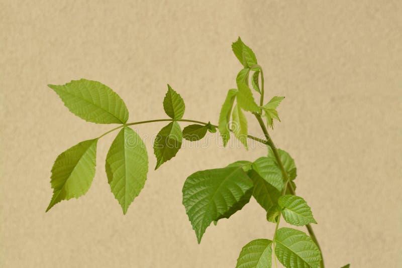 Δέντρο ξύλων καρυδιάς (Βασιλική Καρυά) στοκ φωτογραφία
