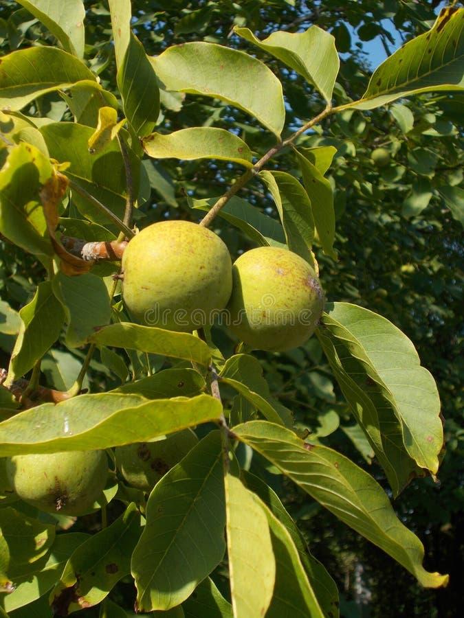 Δέντρο ξύλων καρυδιάς με τα φρούτα στοκ φωτογραφίες με δικαίωμα ελεύθερης χρήσης