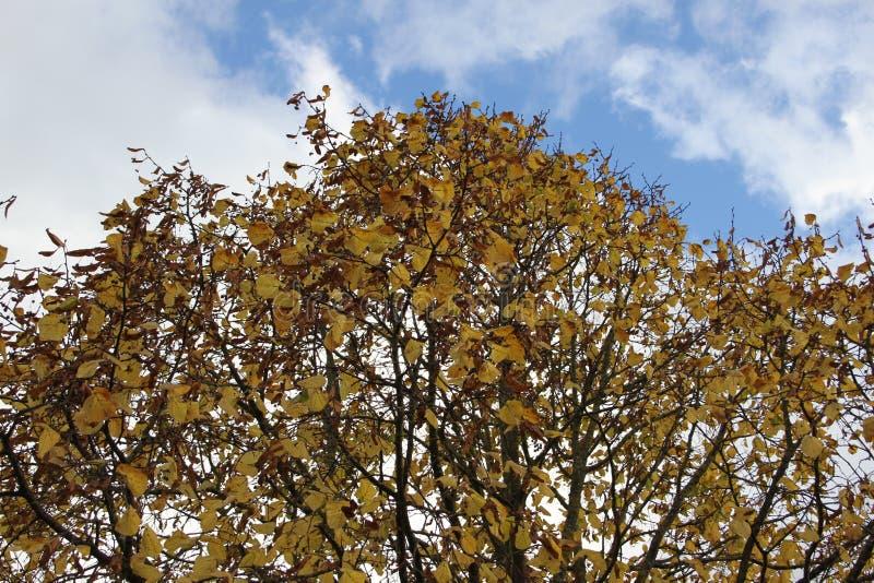 Δέντρο ξύλων καρυδιάς στοκ φωτογραφίες