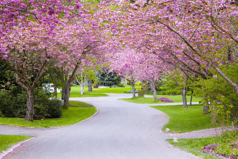 δέντρο οδών κερασιών στοκ φωτογραφία με δικαίωμα ελεύθερης χρήσης