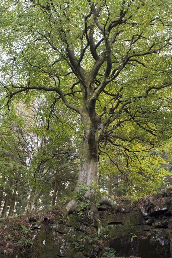 Δέντρο οξιών μια ηλιόλουστη ημέρα φθινοπώρου στοκ φωτογραφία με δικαίωμα ελεύθερης χρήσης