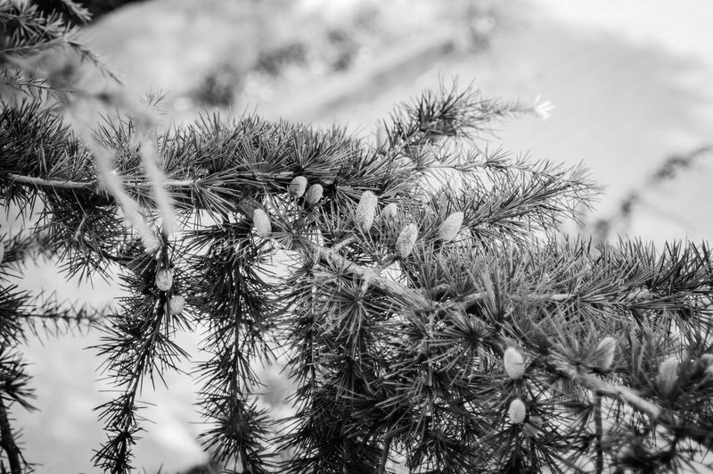 Δέντρο πεύκων κήπων στοκ φωτογραφίες με δικαίωμα ελεύθερης χρήσης