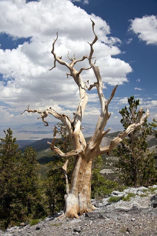 Δέντρο πεύκων κώνων SoloBristle στην κορυφή της κορυφογραμμής στοκ φωτογραφίες με δικαίωμα ελεύθερης χρήσης