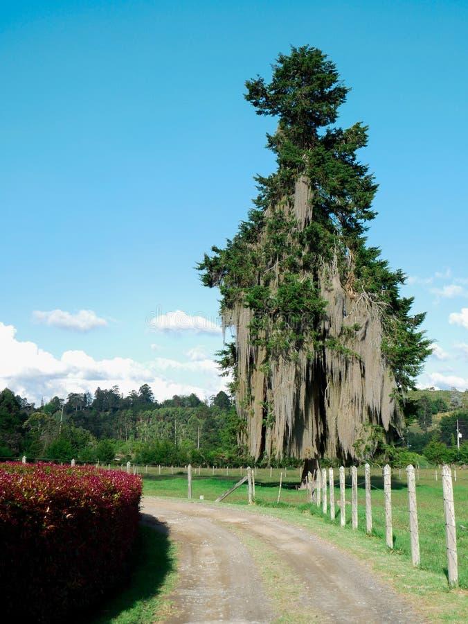 Δέντρο πεύκων με τη λειχήνα γενειάδων με το νεφελώδη μπλε ουρανό στο υπόβαθρο και έναν μη λιθοστρωμένο δρόμο στοκ εικόνα με δικαίωμα ελεύθερης χρήσης
