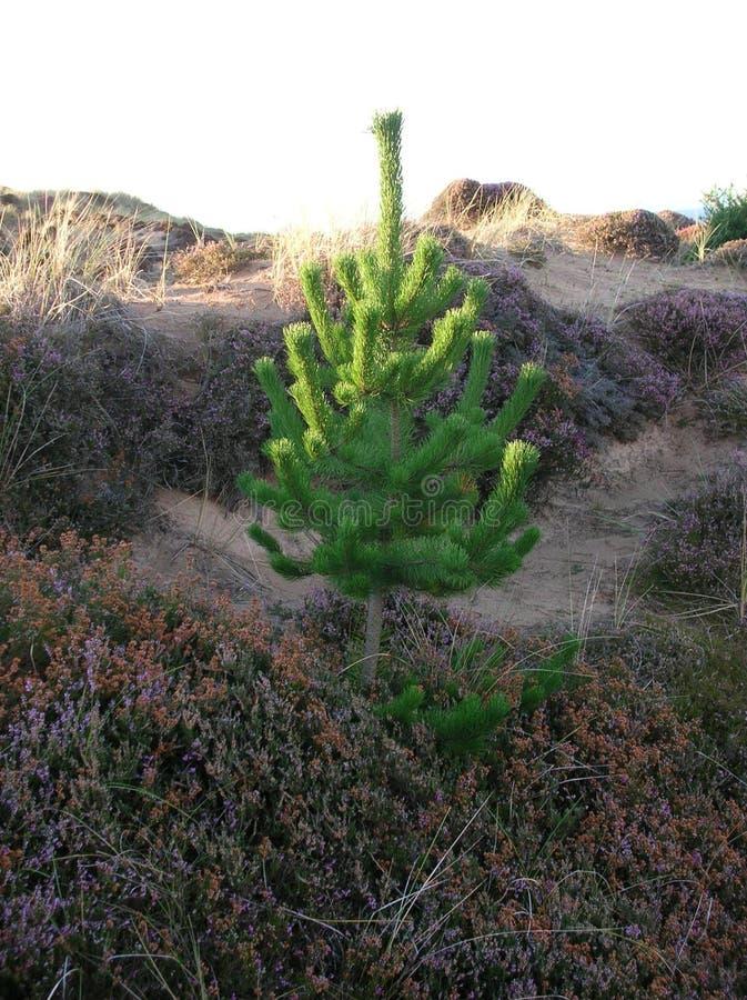 Δέντρο πεύκων μωρών στους αμμόλοφους στον κόλπο Findhorn, Morayshire, Σκωτία, UK στοκ φωτογραφία με δικαίωμα ελεύθερης χρήσης