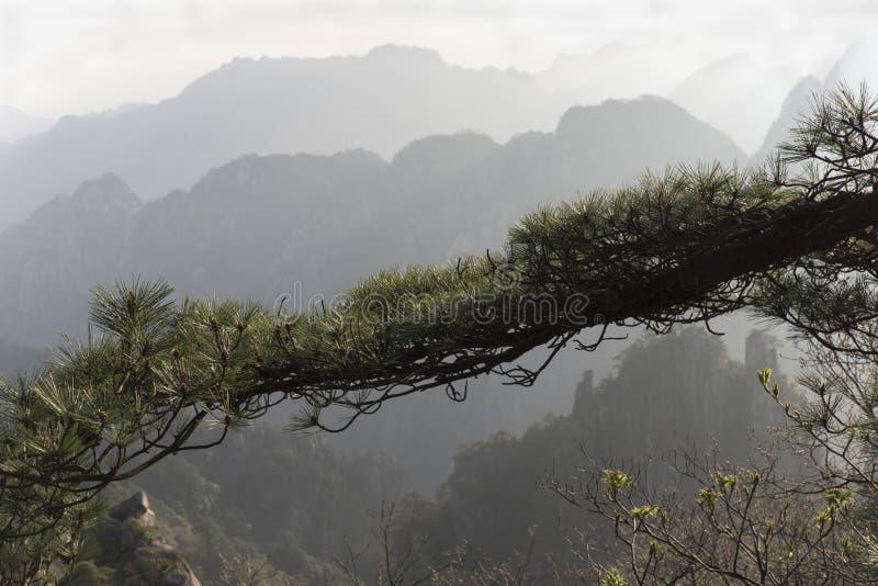 Δέντρο πεύκων στα βουνά Huangshan στοκ φωτογραφία