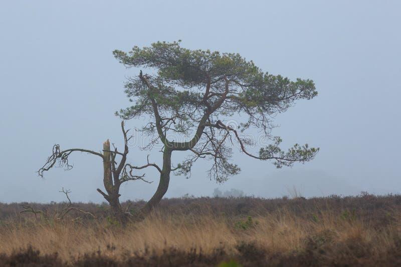 Δέντρο πεύκων στην ομίχλη σε ένα κρύο winterday στοκ εικόνα