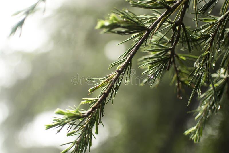 Δέντρο πεύκων στη βροχή στοκ φωτογραφία