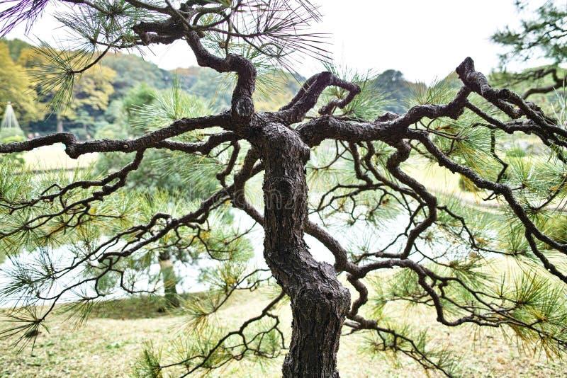 Δέντρο πεύκων στον κήπο στοκ φωτογραφία