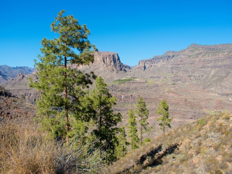 Δέντρο πεύκων στο βουνό στοκ εικόνα