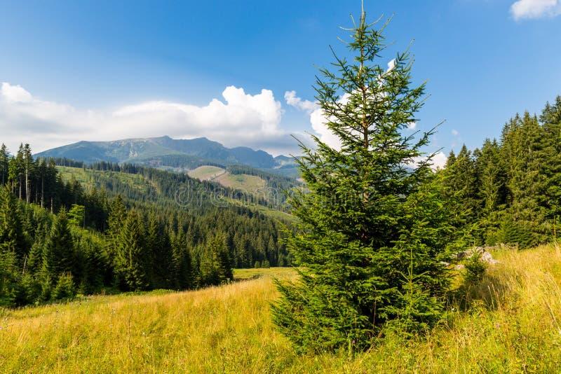 Δέντρο πεύκων στο λιβάδι βουνών σε Tatras στοκ φωτογραφίες με δικαίωμα ελεύθερης χρήσης