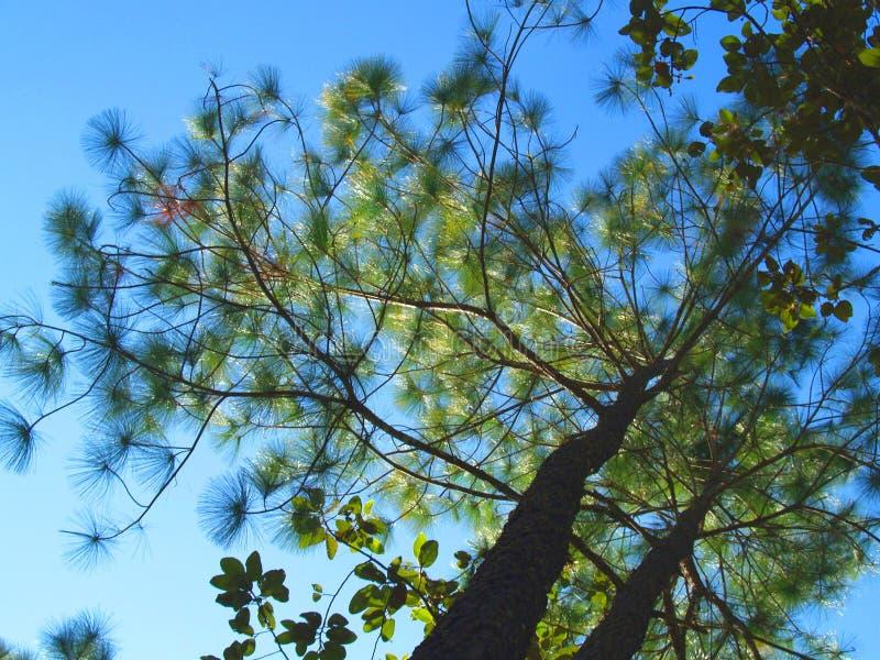 Δέντρο πεύκων το χειμώνα στο εθνικό πάρκο της Ταϊλάνδης στοκ εικόνα με δικαίωμα ελεύθερης χρήσης