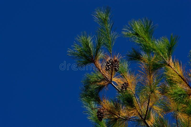 Δέντρο πεύκων φθινοπώρου στοκ εικόνες με δικαίωμα ελεύθερης χρήσης
