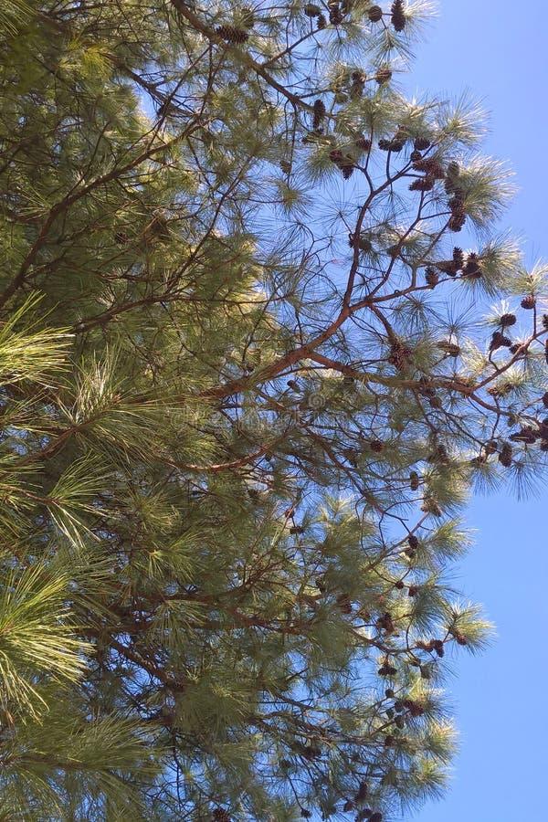 Δέντρο πεύκων Loblolly στοκ εικόνες