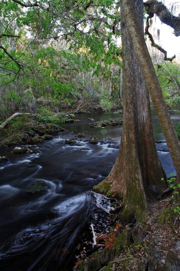 δέντρο ποταμών κυπαρισσιών στοκ φωτογραφία