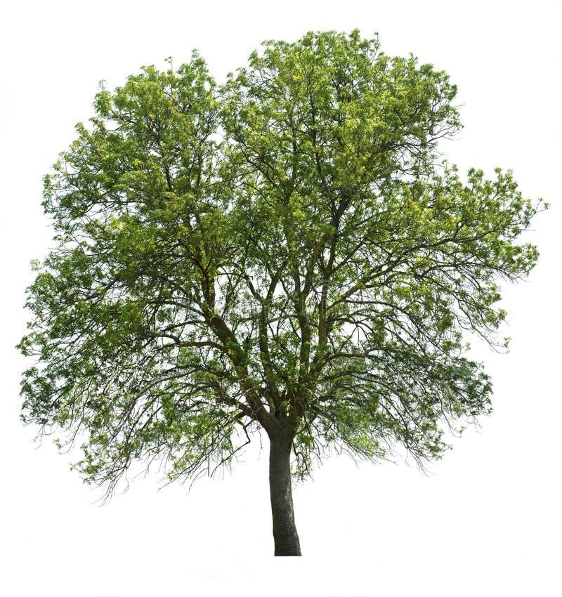 Δέντρο που απομονώνεται πέρα από το λευκό στοκ εικόνες