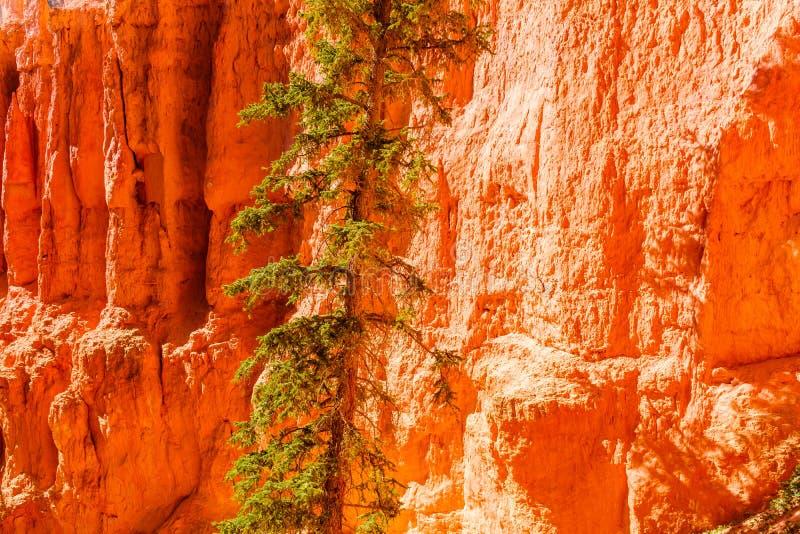 Δέντρο που αυξάνεται μέσα - μεταξύ των hoodoos ψαμμίτη στο φαράγγι του Bryce στοκ φωτογραφίες με δικαίωμα ελεύθερης χρήσης
