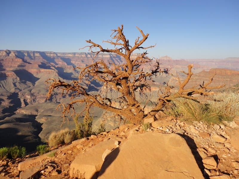 Δέντρο που ζει στο μεγάλο φαράγγι στοκ εικόνα