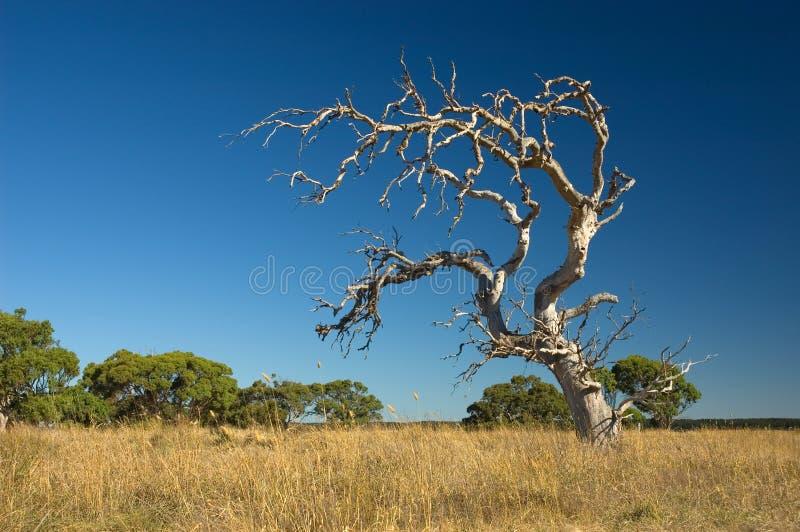 δέντρο που μαραίνεται παλ στοκ φωτογραφίες