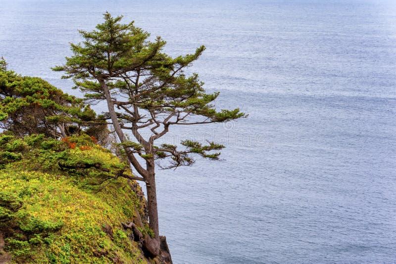 Δέντρο που ριζοβολούν στην κλιτύ του απότομου βράχου στην ακτή του Όρεγκον στοκ φωτογραφίες