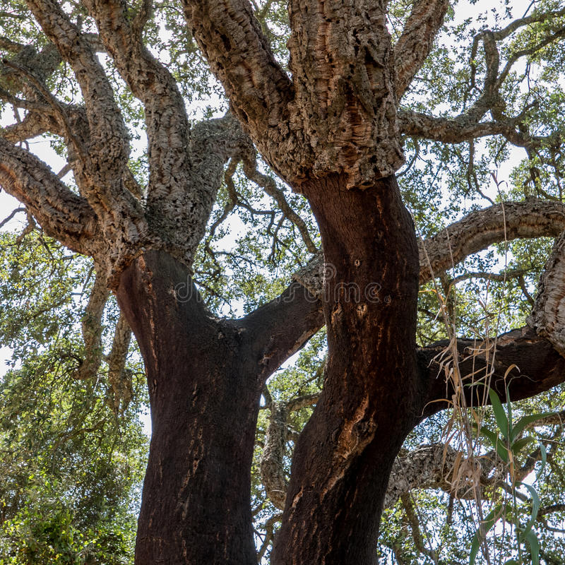 Δέντρο που χρησιμοποιείται για το φελλό στοκ εικόνες