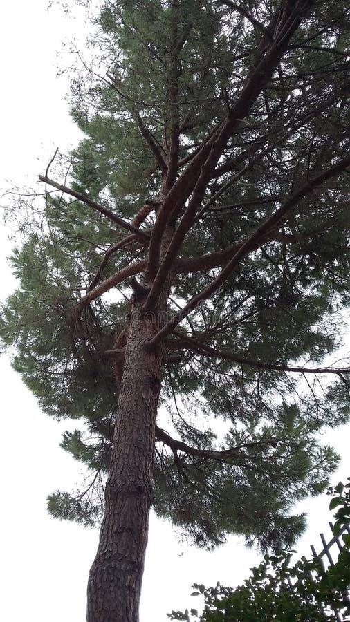 Δέντρο πράσινο Pino στοκ φωτογραφίες