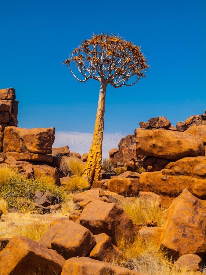 Δέντρο ρίγου στην παιδική χαρά του της Ναμίμπια γίγαντα στοκ φωτογραφίες με δικαίωμα ελεύθερης χρήσης