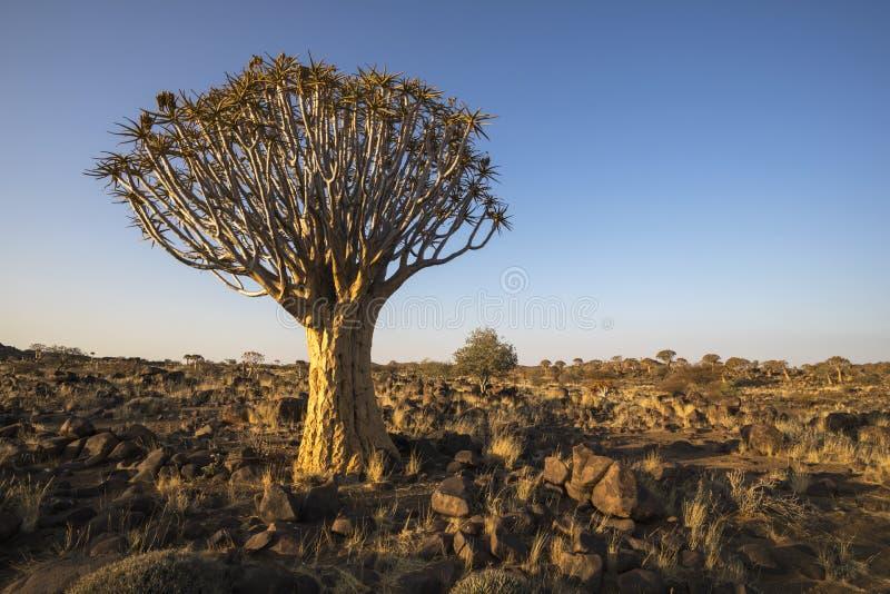 Δέντρο ρίγου στον αργά το απόγευμα ήλιο στοκ φωτογραφία