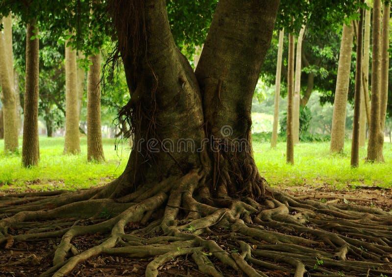 δέντρο ριζών στοκ φωτογραφία με δικαίωμα ελεύθερης χρήσης