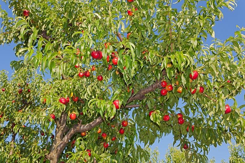 δέντρο ροδακινιών στοκ φωτογραφία με δικαίωμα ελεύθερης χρήσης