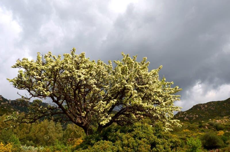 δέντρο ροδακινιών στοκ εικόνα