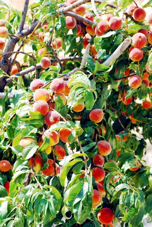 Δέντρο ροδακινιών στοκ εικόνες