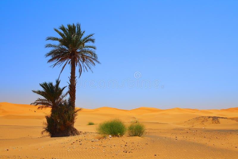 δέντρο Σαχάρας φοινικών ερ στοκ εικόνες