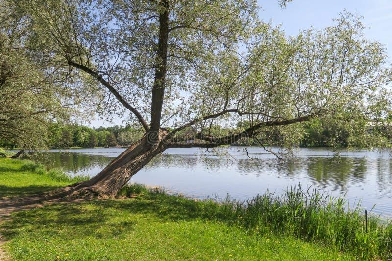 Δέντρο σε Pushkin στοκ φωτογραφία με δικαίωμα ελεύθερης χρήσης