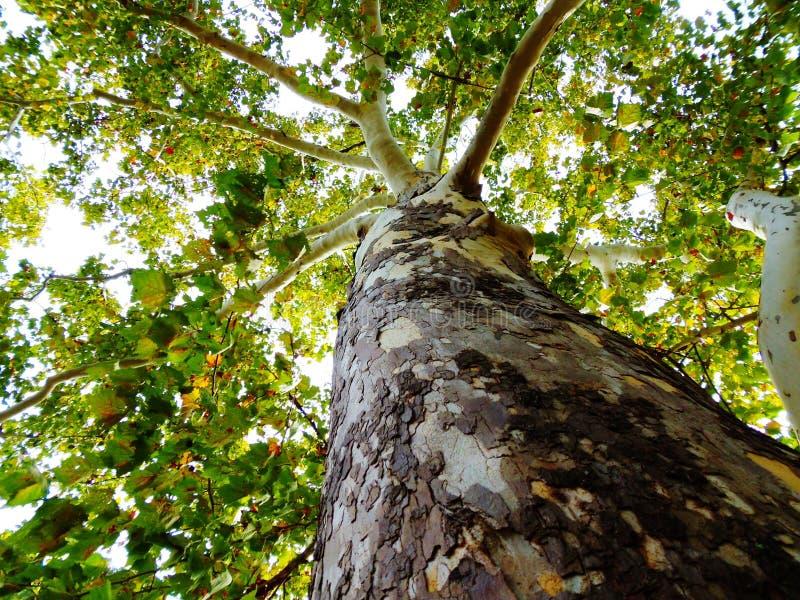 Δέντρο σημύδων από το έδαφος στο θόλο στοκ φωτογραφία με δικαίωμα ελεύθερης χρήσης
