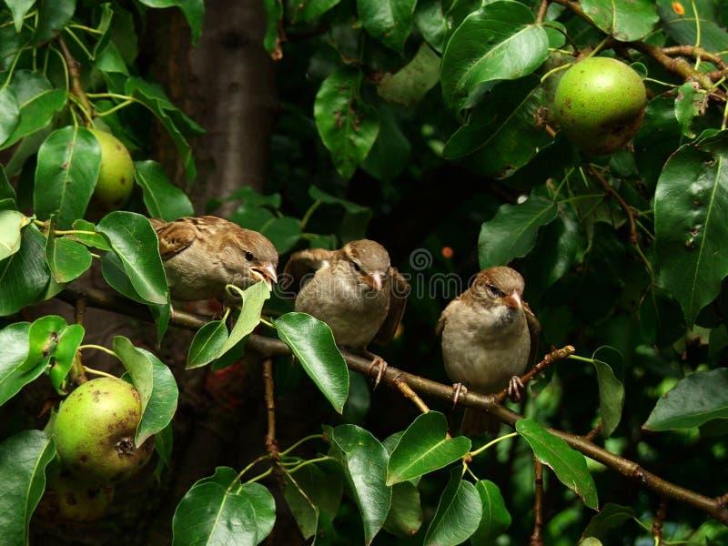 δέντρο σπουργιτιών αχλαδ στοκ εικόνα με δικαίωμα ελεύθερης χρήσης