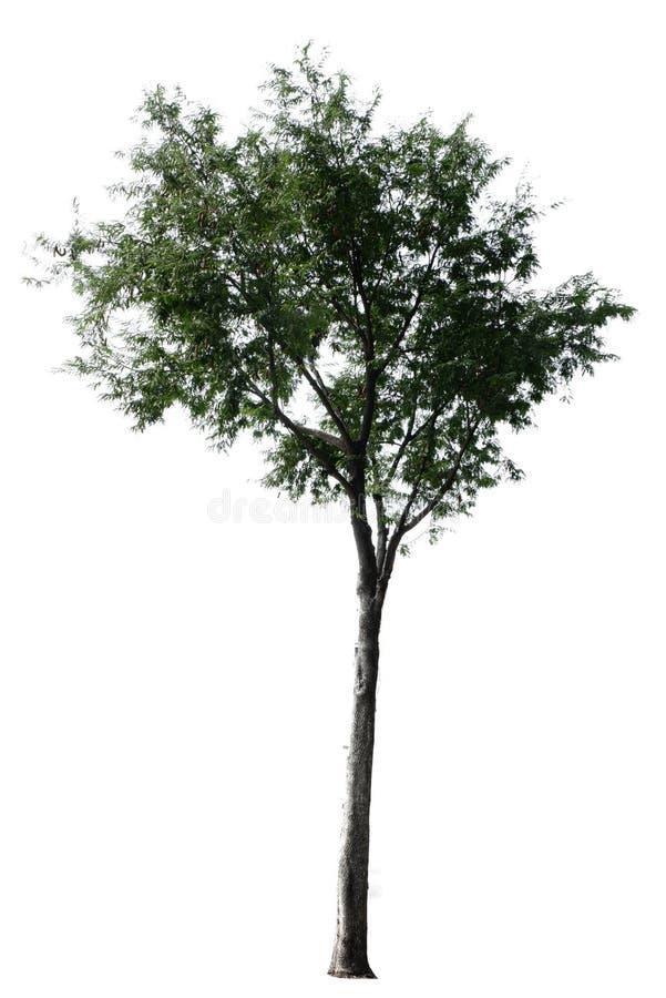 Δέντρο στην άσπρη ανασκόπηση στοκ εικόνες