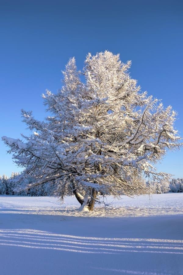 Δέντρο στην ηλιοφάνεια στοκ εικόνα με δικαίωμα ελεύθερης χρήσης