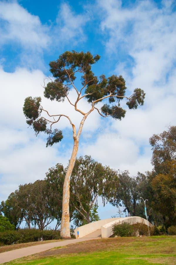 Δέντρο στην οδό γύρω από το Σαν Ντιέγκο, Καλιφόρνια Καλιφόρνια είναι γνωστή με ένα αγαθό εάν τοποθετημένος στις Ηνωμένες Πολιτείε στοκ φωτογραφία