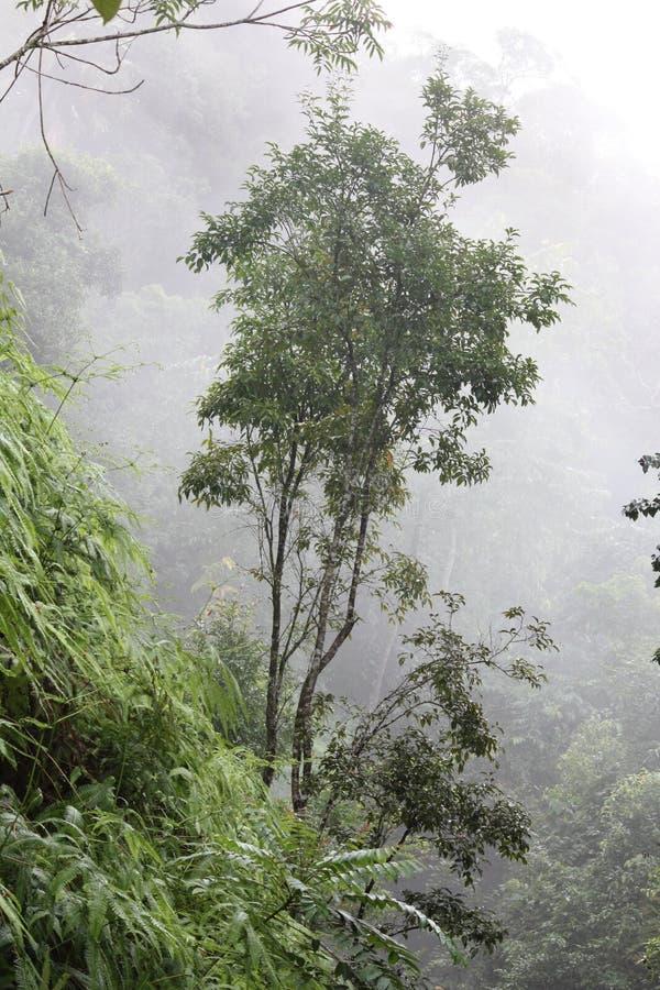 Δέντρο στην ομίχλη στο τροπικό τροπικό δάσος στοκ εικόνες