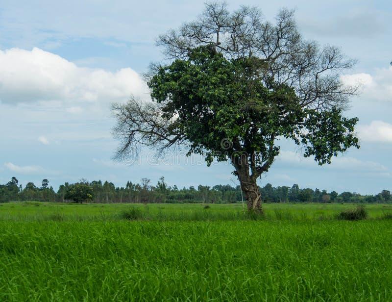 Δέντρο στον τομέα ρυζιού στοκ φωτογραφία