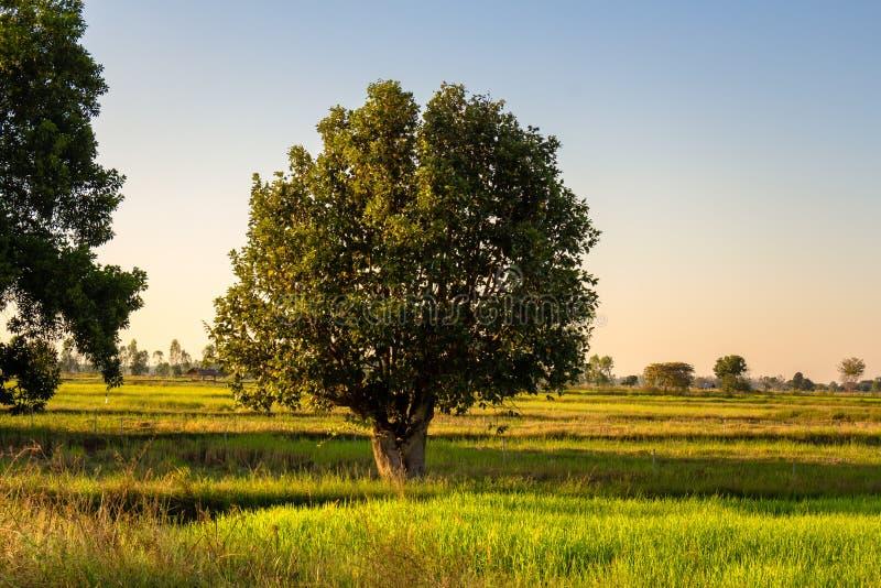 Δέντρο στον τομέα στοκ φωτογραφία με δικαίωμα ελεύθερης χρήσης