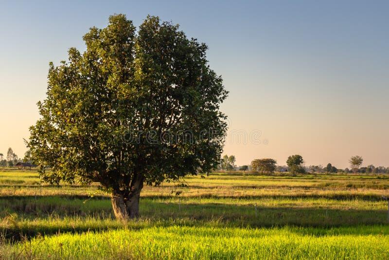 Δέντρο στον τομέα στοκ εικόνα με δικαίωμα ελεύθερης χρήσης