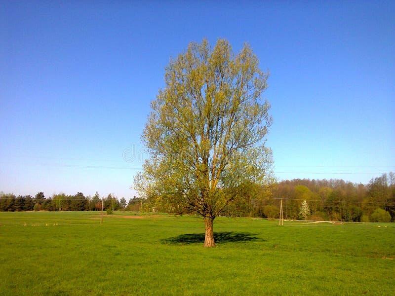Δέντρο στο λιβάδι, πρωί άνοιξη στοκ εικόνα