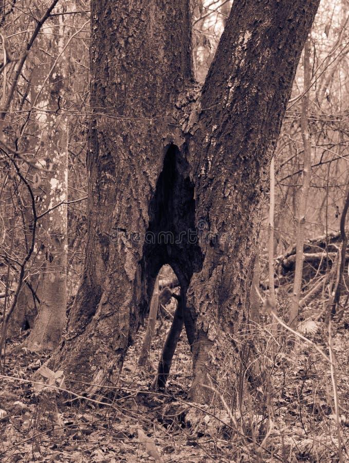 Δέντρο στο πάρκο με την κοιλότητα στοκ φωτογραφίες με δικαίωμα ελεύθερης χρήσης